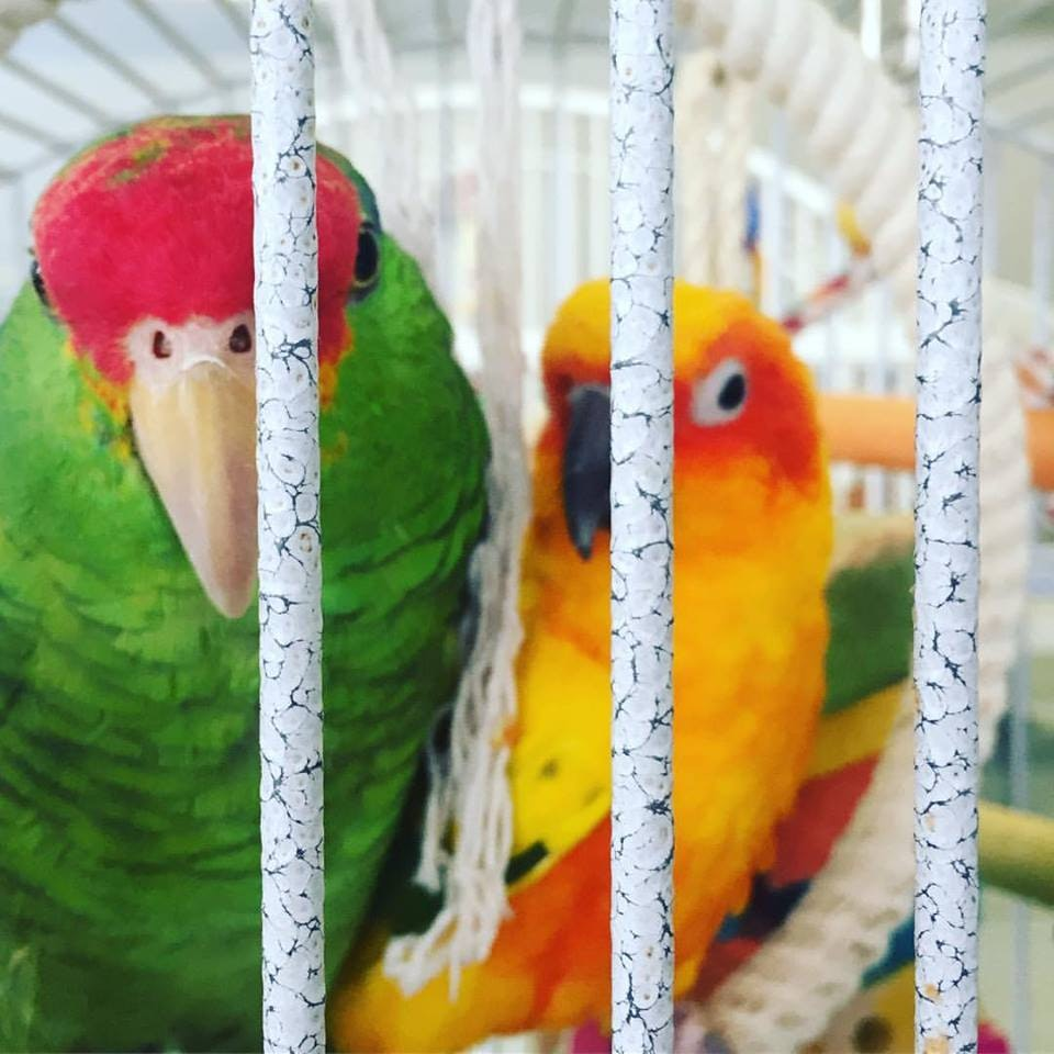 Two African grey parrots look out from their cage inside the Oicitica exhibition.