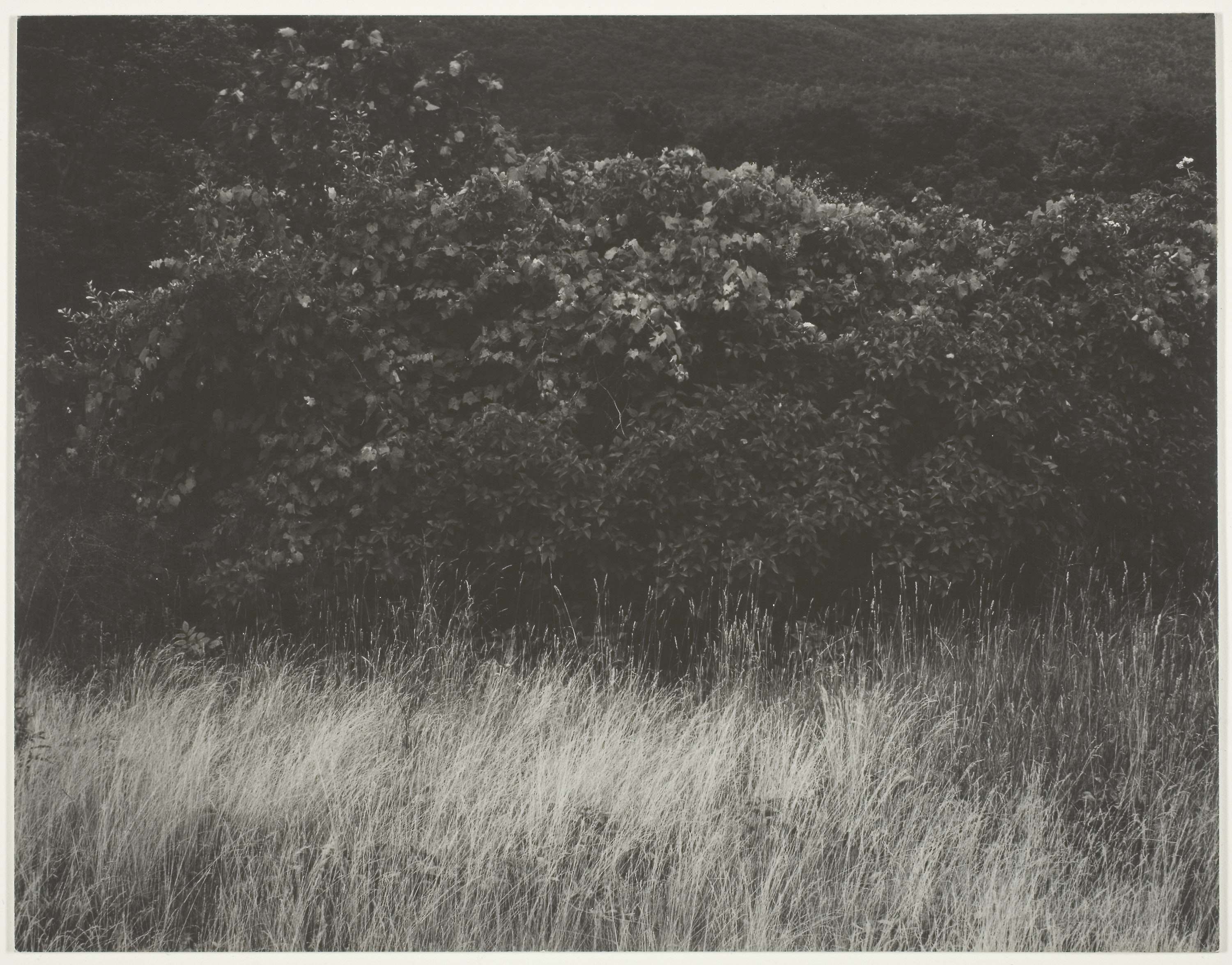 Hedge And Grasses, Lake George, by Alfred Stieglitz