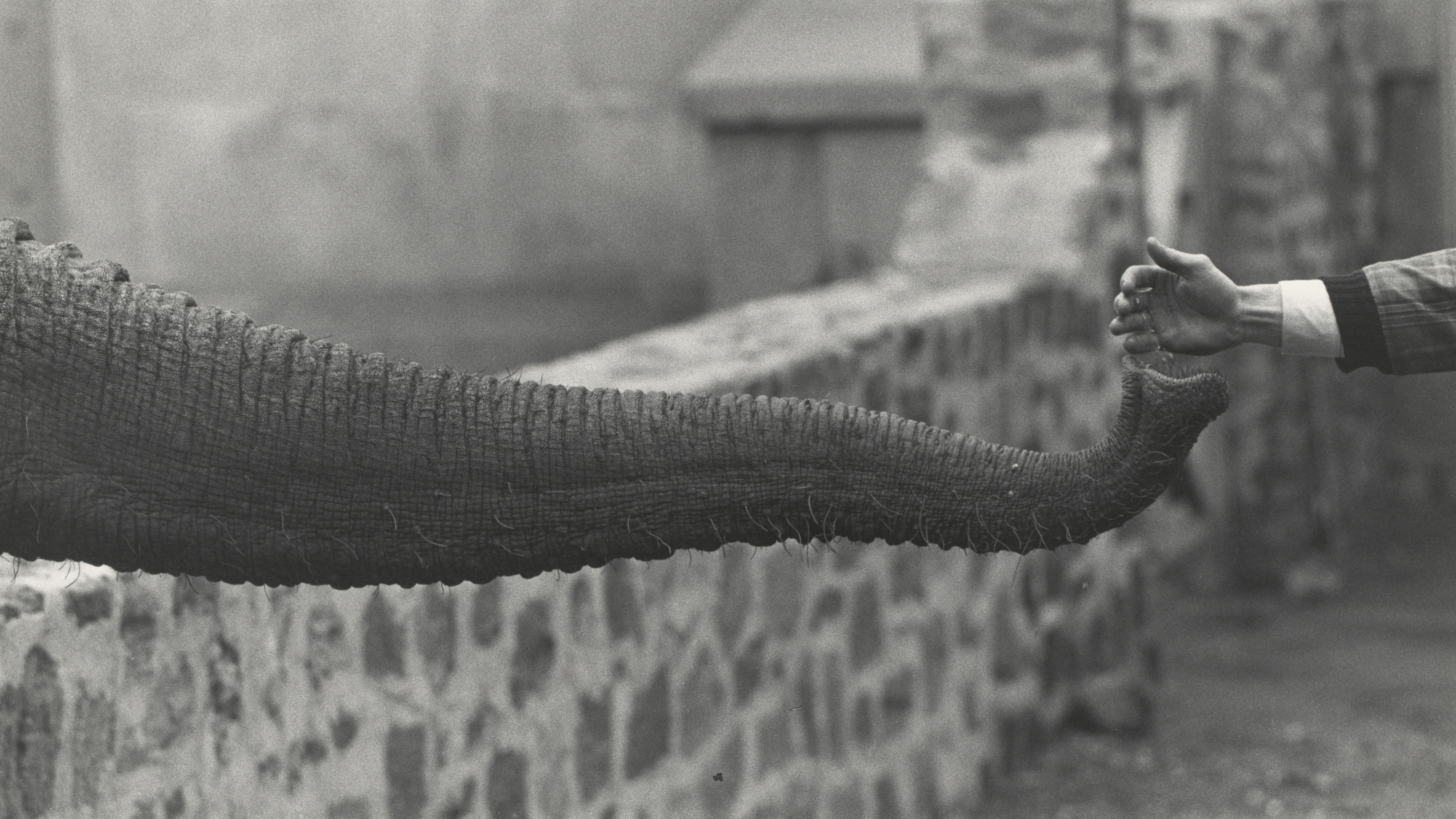 "A black-and-white photograph shows the trunk of an elephant reaching across the entirety of the frame to ""hold hands"" with a child."